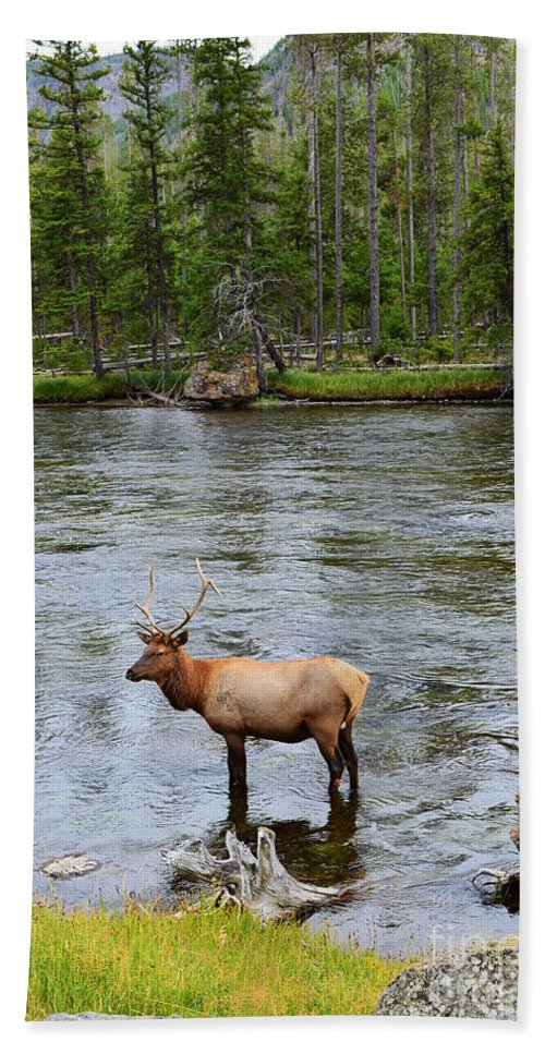 Elk Beach Towel featuring the photograph Elk Stag In The Madison River Of Yellowstone National Park by Catherine Sherman