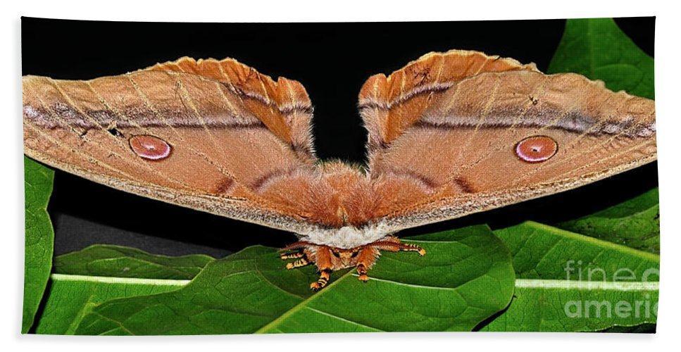 Photography Beach Towel featuring the photograph Emperor Gum Moth - 6 Inch Wing Span by Kaye Menner