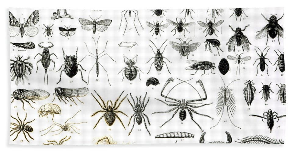 Insects; Arachnids; Butterfly; Zoology; Species; Fly; Flies; Scorpion; Spiders; Millipede; Moth Beach Towel featuring the drawing Entomology Myriapoda And Arachnida by English School