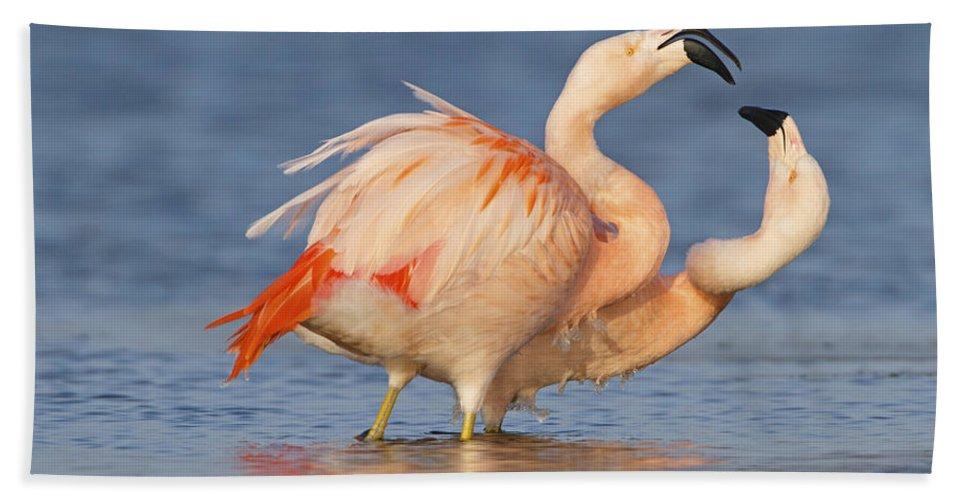 Nis Beach Towel featuring the photograph European Flamingo Pair Courting by Ronald Kamphius