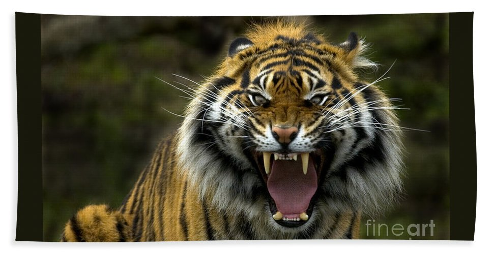 Tiger Beach Towel featuring the photograph Eyes Of The Tiger by Mike Dawson