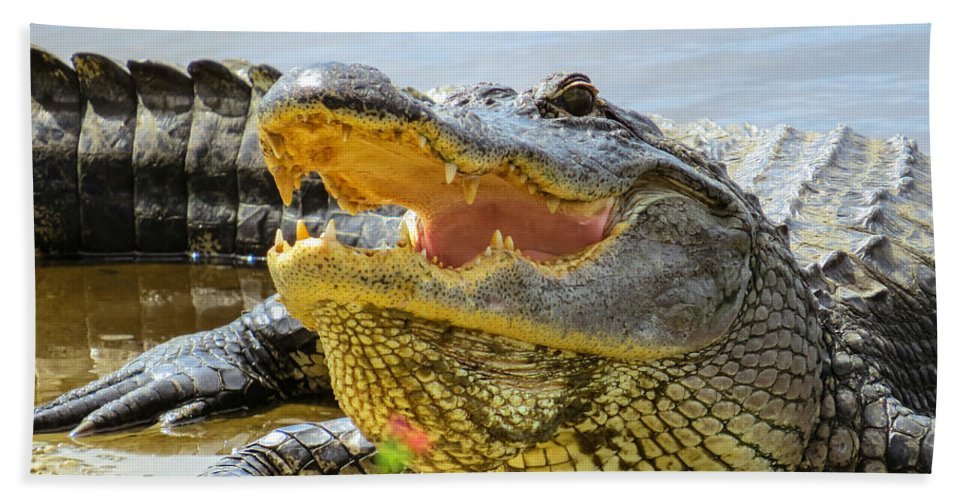 American Alligator Beach Towel featuring the photograph Face To Face by Zina Stromberg