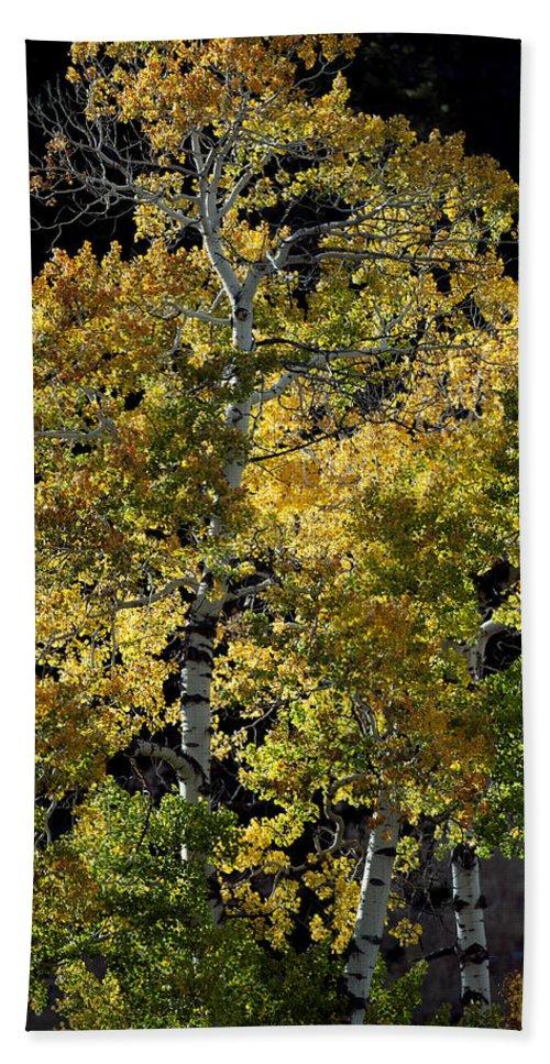 Fall Beach Towel featuring the photograph Fall Aspen by Gary Langley