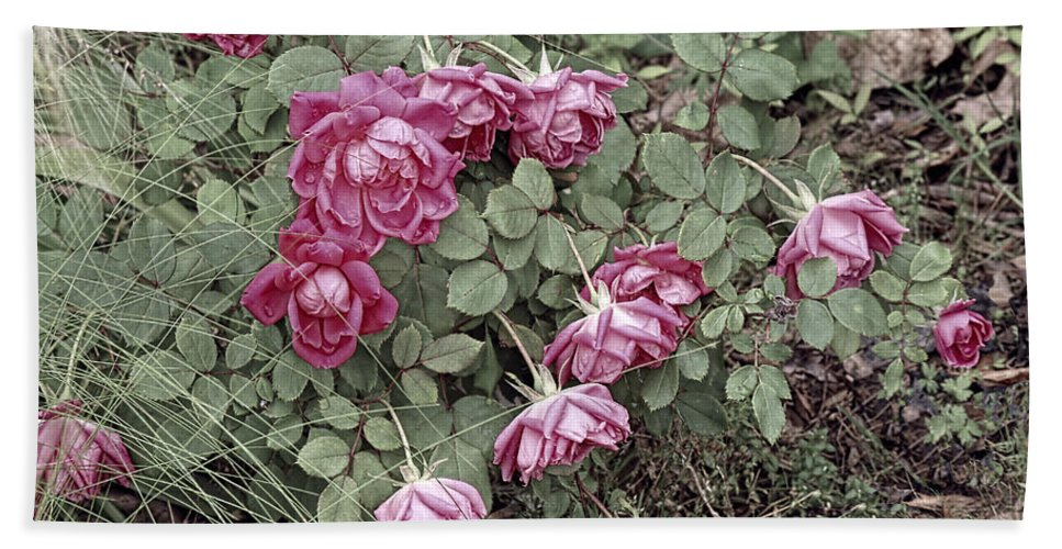 Roses Beach Towel featuring the photograph Fallin' Roses by Bonnie Willis