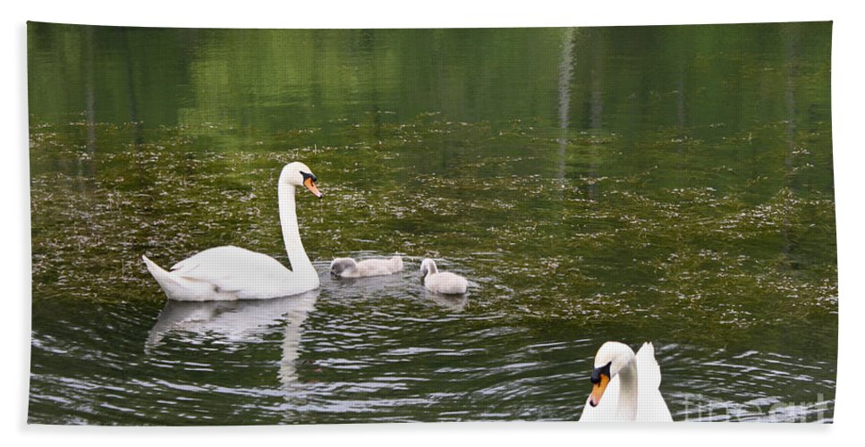 Swan Beach Towel featuring the photograph Family Of Swans by Teresa Mucha