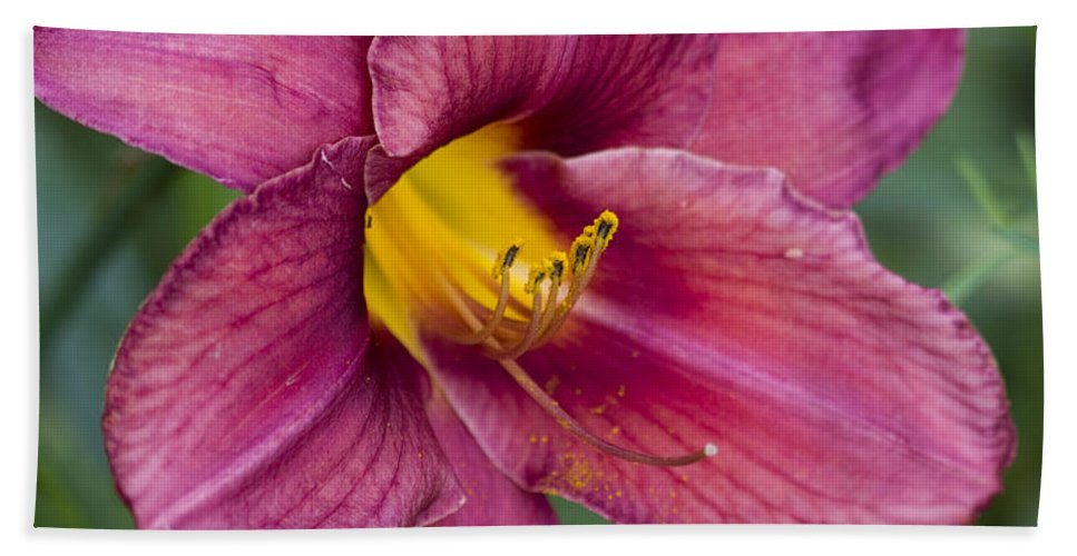 Hemerocallis Beach Towel featuring the photograph Fancy Red Wine Daylily by Kathy Clark