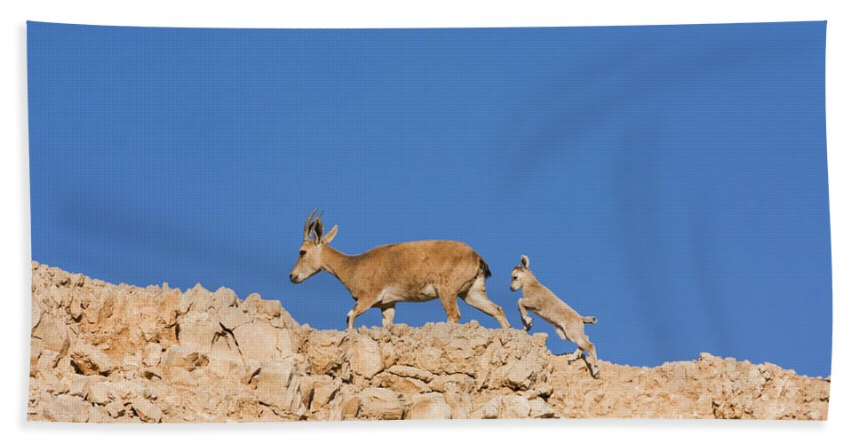 Ibex Beach Towel featuring the photograph female and young Nubian Ibex by Eyal Bartov