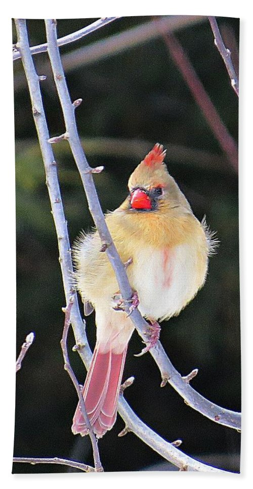 Cardinal Beach Towel featuring the photograph Female Cardinal In Tree by MTBobbins Photography