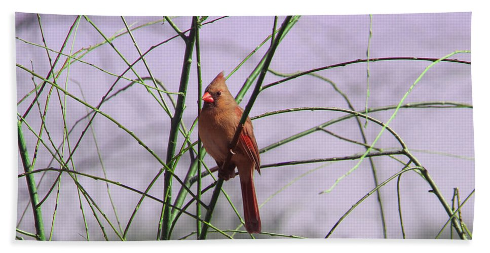 Tn Beach Towel featuring the photograph Female Cardinal In Willow by Ericamaxine Price