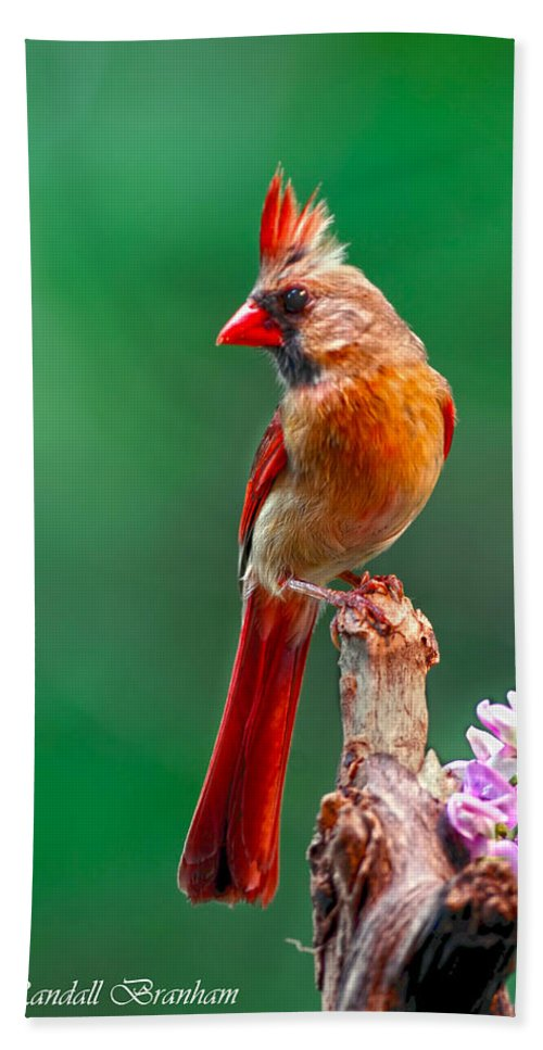 Female Posing Pretty On Snag Wrapped With Pea Vine Beach Towel featuring the photograph Female Cardinal Posing Pretty by Randall Branham
