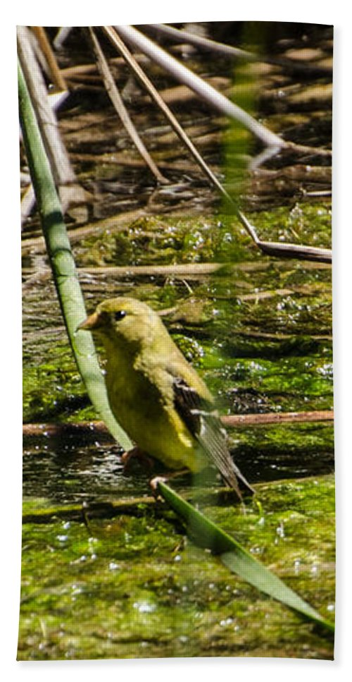 Water Beach Towel featuring the photograph Female Gold Finch Drinking by Donna Brown