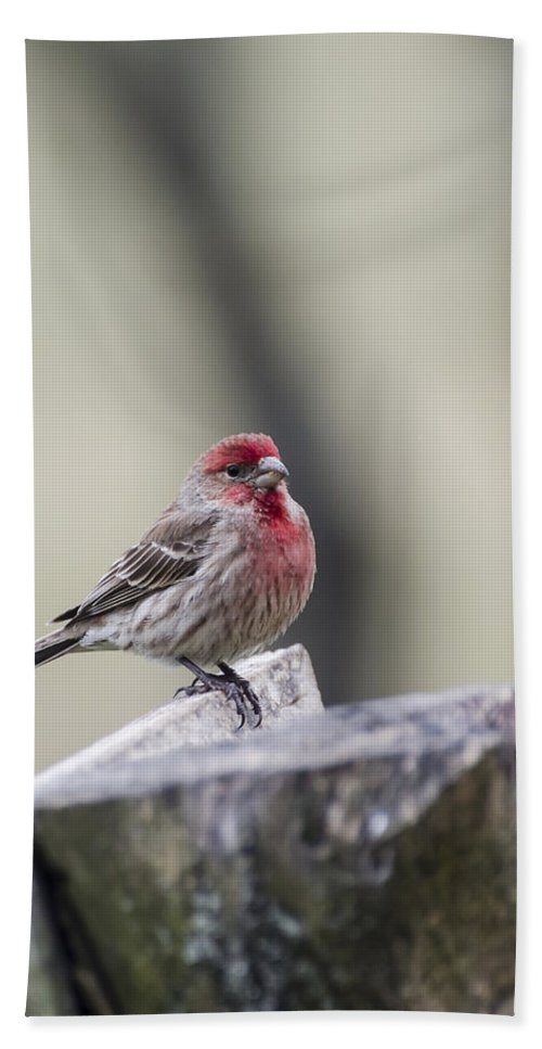 House Finch Beach Towel featuring the photograph Finch by Heather Applegate
