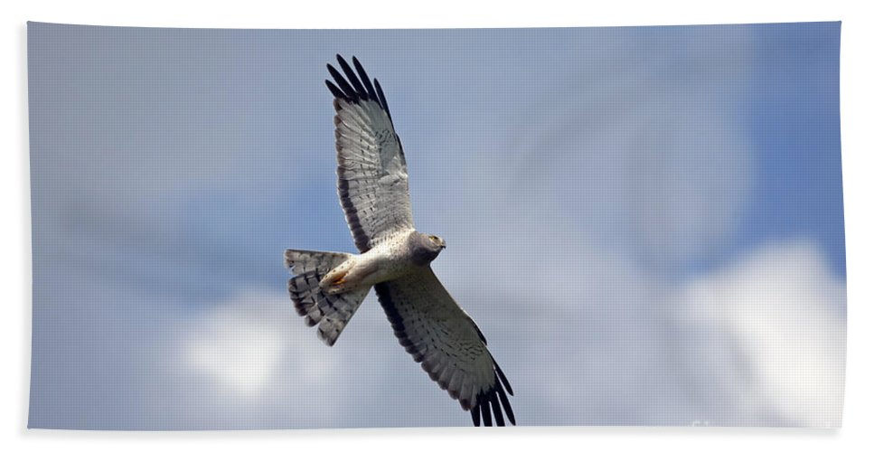 Northern Harrier Beach Towel featuring the photograph Flight Of The Harrier by Mike Dawson