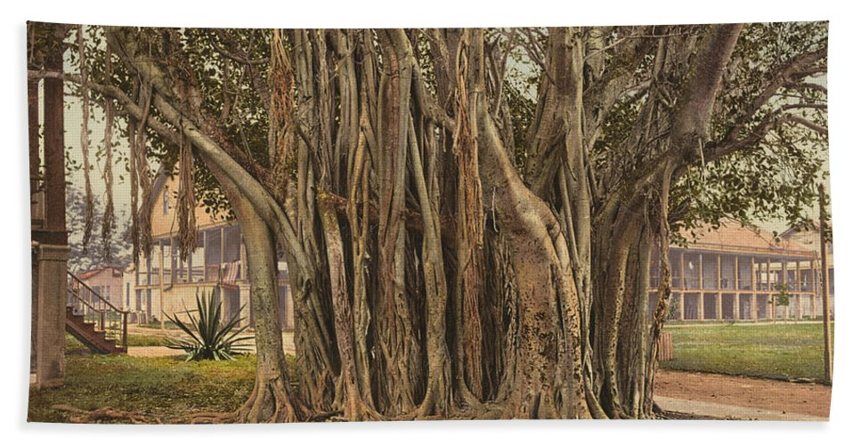 1890 Beach Towel featuring the painting Florida Rubber Tree, C1900 by Granger