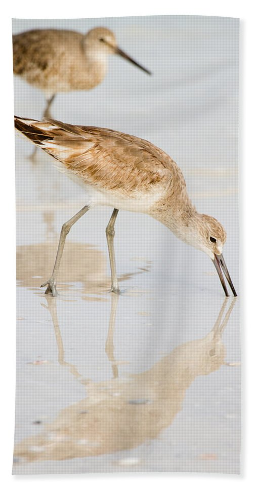 Shorebirds Beach Towel featuring the photograph Florida Shorebirds - Willets In Their Summer Finery by Bill Swindaman