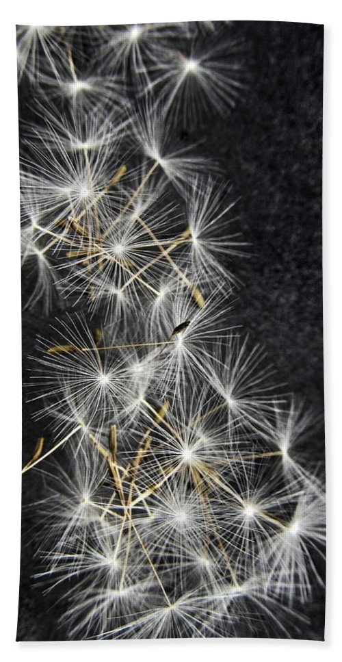 Dandelion Beach Towel featuring the photograph Forgotten Wishes by Marianna Mills