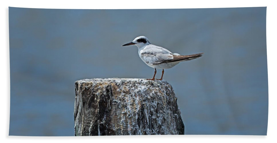 Forster's Tern Beach Towel featuring the photograph Forster's Tern by Louise Heusinkveld