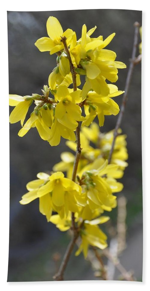 Forsythia Beach Towel featuring the photograph Forsythia by Valerie Kirkwood