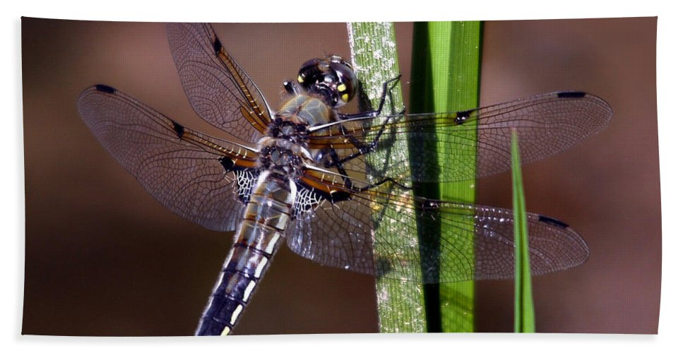 Four-spotted Skimmer Beach Towel featuring the photograph Four-spotted Skimmer by David Salter