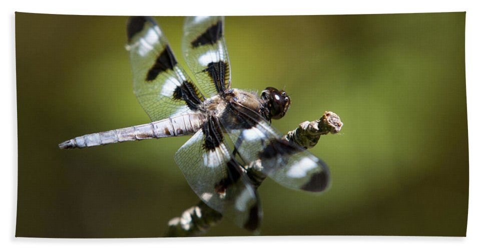 Twelve Spotted Skimmer Beach Towel featuring the photograph Fresh Morning Dragonfly by Christina Rollo