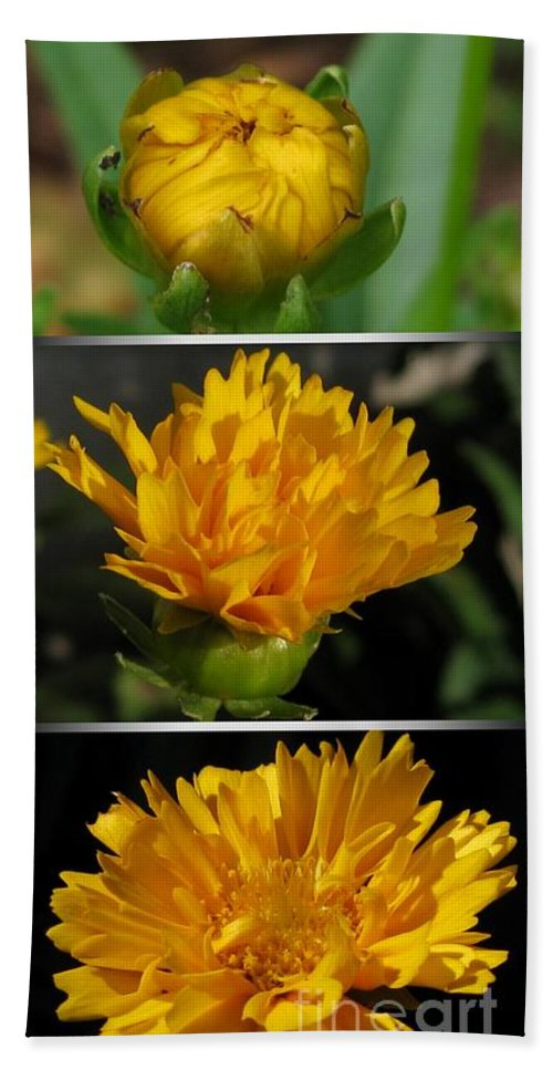 Coreopsis Beach Towel featuring the photograph From Bud To Bloom - Coreopsis Named Early Sunrise by J McCombie