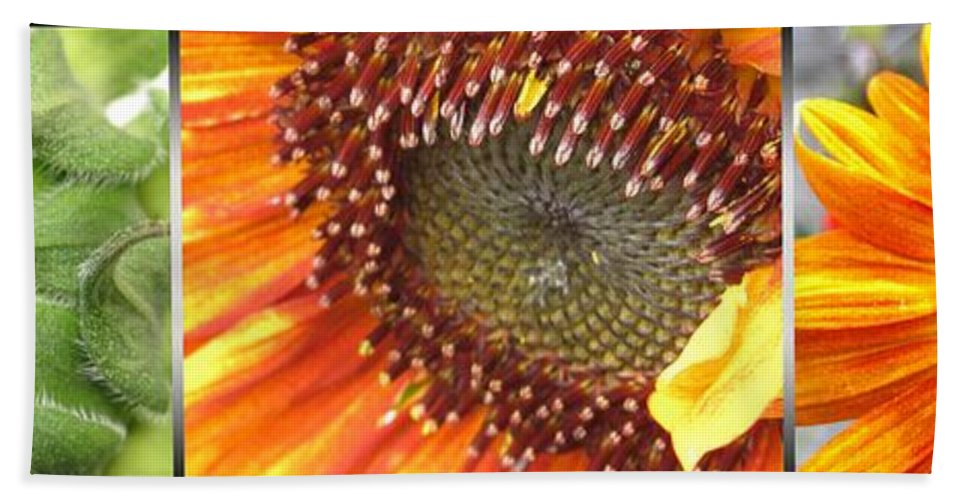 Mccombie Beach Towel featuring the photograph From Bud To Bloom - Sunflower by J McCombie
