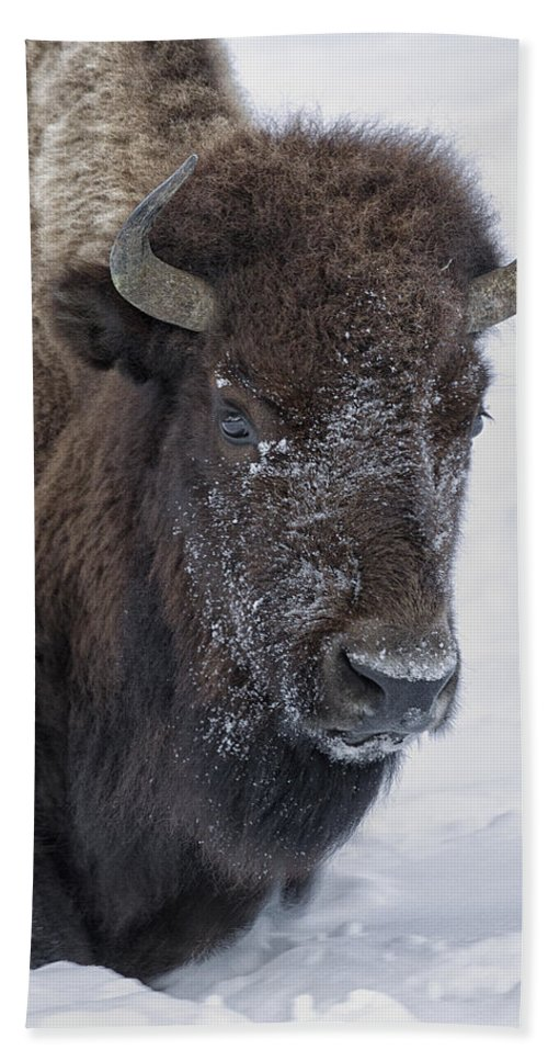 Bison Beach Towel featuring the photograph Frosty Morning Bison by Elaine Haberland