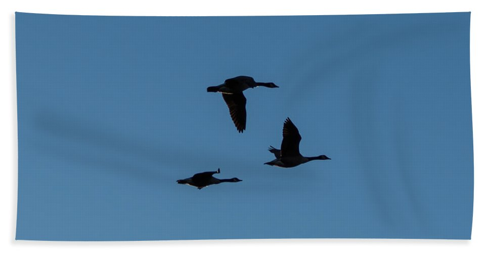 Birds Beach Towel featuring the photograph Gaggle Of Geese by Gaurav Singh