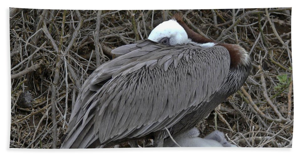 Galapagos Beach Towel featuring the photograph Galapagos - Watchful Pelican by Allen Sheffield