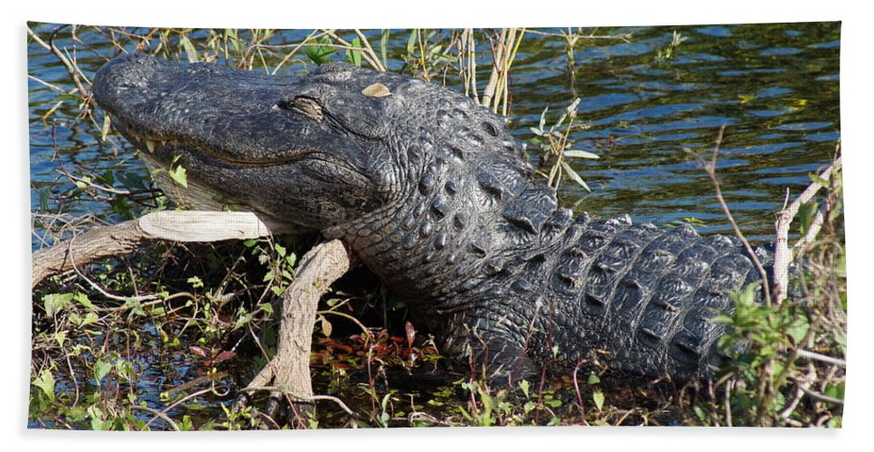 Alligator Gator Everglades National Park Florida Beach Towel featuring the photograph Gator On A Stick by John Wall