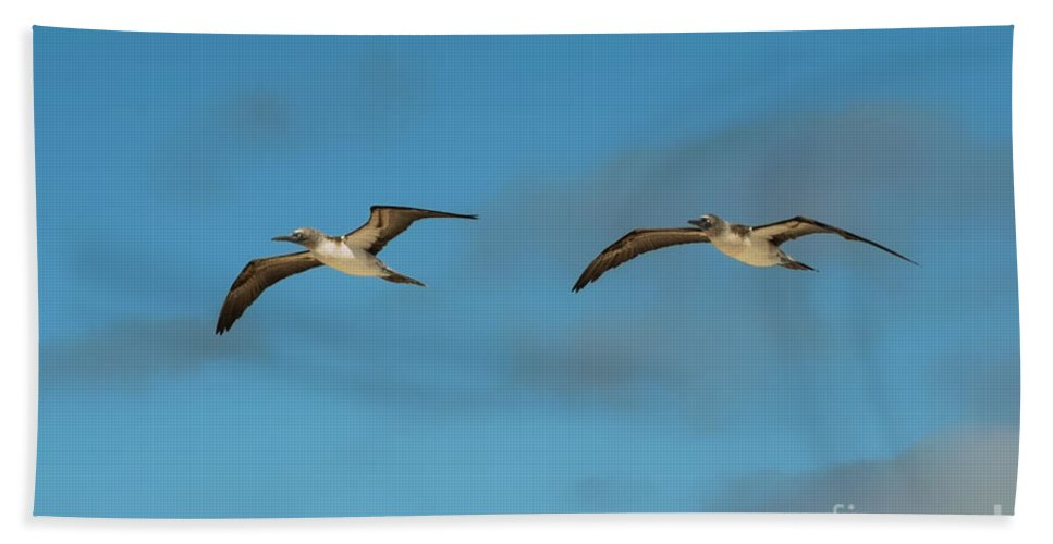 Seymour Island Galapagos Islands Ecuador Blue Footed Booby Bootbes Bird Birds Twins Two Of A Kind Animal Animals Creature Creatures Beach Towel featuring the photograph Gemelos by Bob Phillips