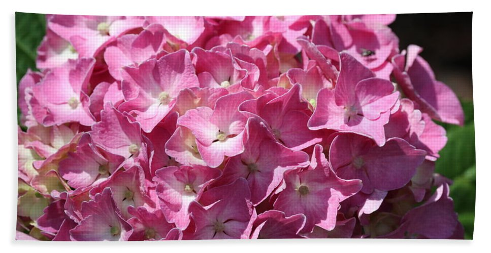 Hydrangea Beach Towel featuring the photograph Glowing Pink Hydrangea by Christiane Schulze Art And Photography