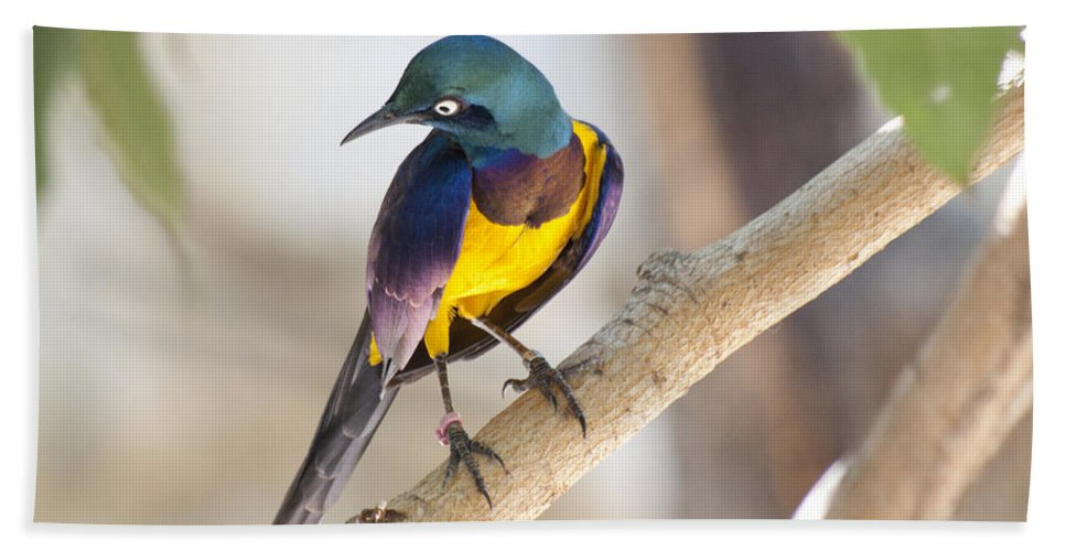 Bird Beach Towel featuring the photograph Golden-breasted Starling by Jim And Emily Bush