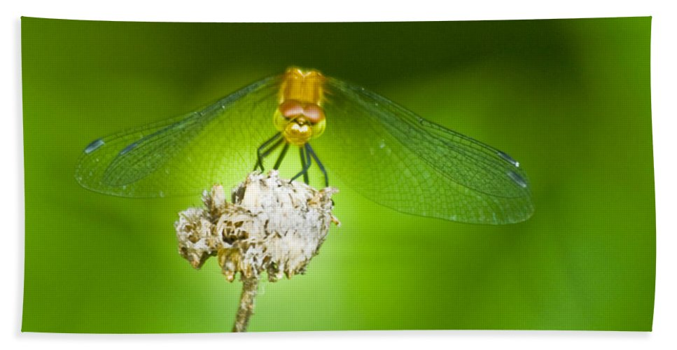 Dragonfly Photographs Beach Towel featuring the photograph Golden Dragonfly On Perch by Crystal Heitzman Renskers