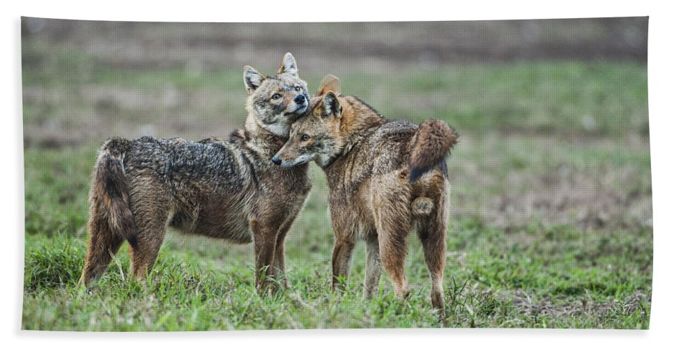 Golden Jackal Beach Towel featuring the photograph Golden Jackal Canis Aureus by Eyal Bartov