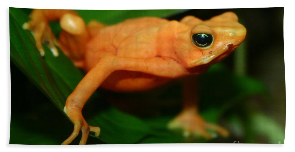 Alyce Taylor Beach Towel featuring the photograph Golden Mantella by Alyce Taylor