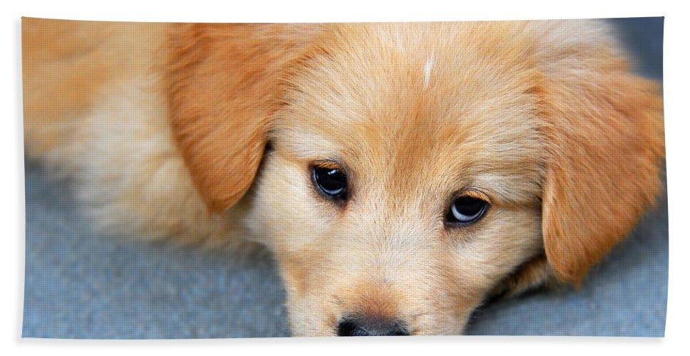 Retriever Puppy Beach Towel featuring the photograph Retriever Puppy by Christina Rollo