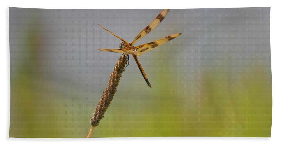 Golden Tailed Dragonfly Beach Towel featuring the photograph Golden Tailed Dragonfly by Maria Urso