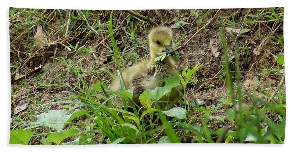 Digital Photography Beach Towel featuring the photograph Gosling Chewing On Some Grass by Kim Pate