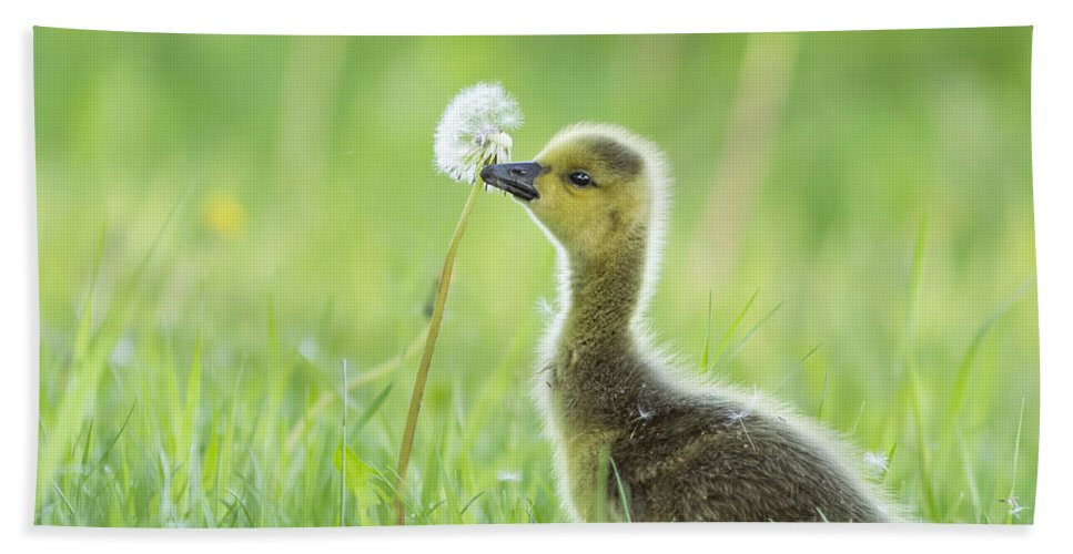 Babies Beach Towel featuring the photograph Gosling With Dandelion by Mircea Costina Photography