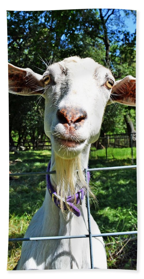 Goat Beach Towel featuring the photograph Got Your Goat by Holly Blunkall