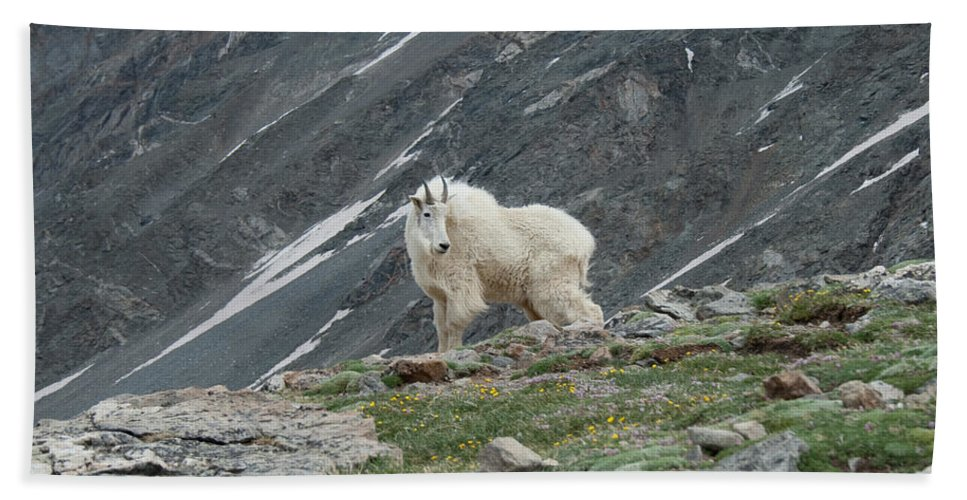 Mountain Goat Beach Towel featuring the photograph Gq Mtn. Goat by Angus Hooper Iii