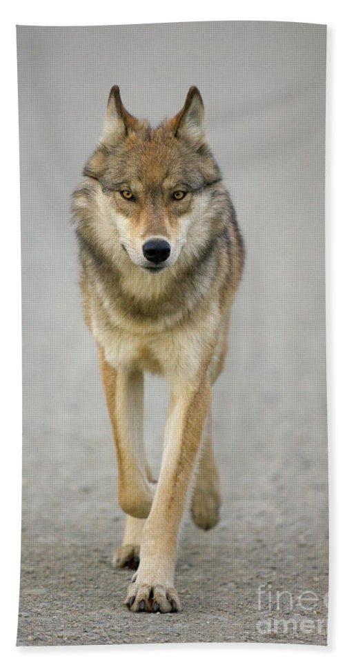 00440973 Beach Sheet featuring the photograph Gray Wolf Denali National Park Alaska by Yva Momatiuk John Eastcott