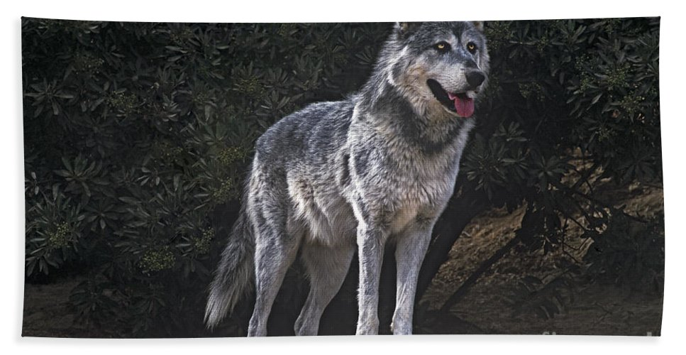 Gray Wolf Beach Towel featuring the photograph Gray Wolf On Hillside Endangered Species Wildlife Rescue by Dave Welling