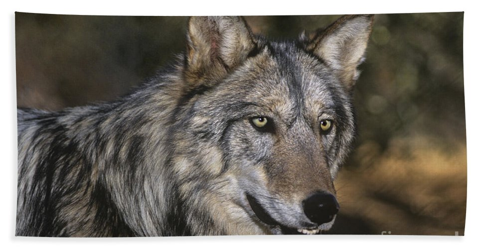 Gray Wolf Beach Towel featuring the photograph Gray Wolf Portrait Endangered Species Wildlife Rescue by Dave Welling