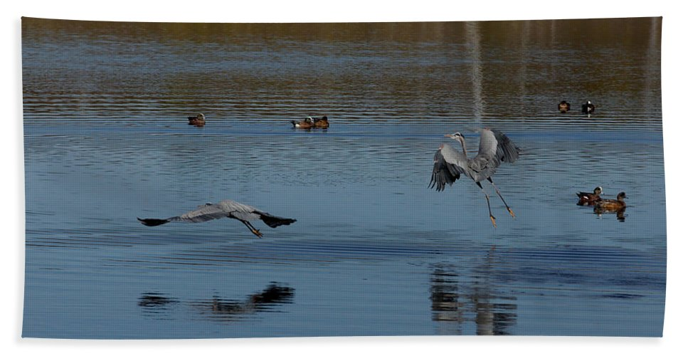Animals Beach Towel featuring the photograph Great Blue Dance by Ernie Echols
