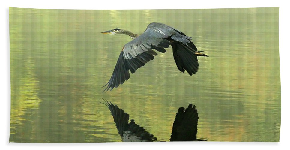 Blue Beach Towel featuring the photograph Great Blue Fly-by by Douglas Stucky