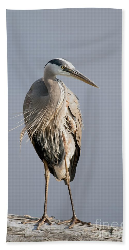 Great Blue Heron Beach Towel featuring the photograph Great Blue Heron 2 by Sharon Talson