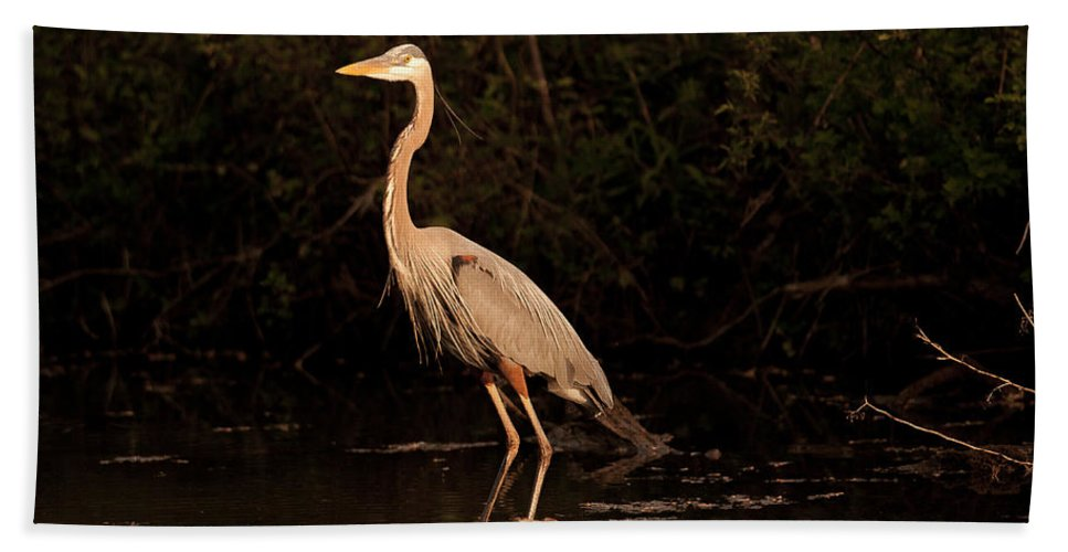 Ardea Beach Towel featuring the photograph Great Blue Heron by Jack R Perry