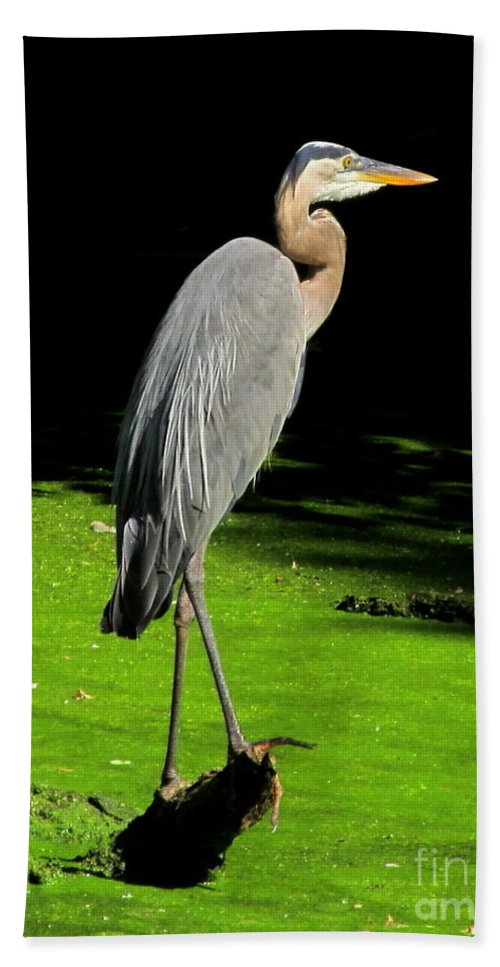 Great Blue Heron Photographs Wading Birds Of America Wetland Wildlife Images Wetland Birds Blue Heron Images Water Birds American Wetland Biodiversity Conservation Natural Science Educational Resources Beach Towel featuring the photograph Great Blue Heron by Joshua Bales